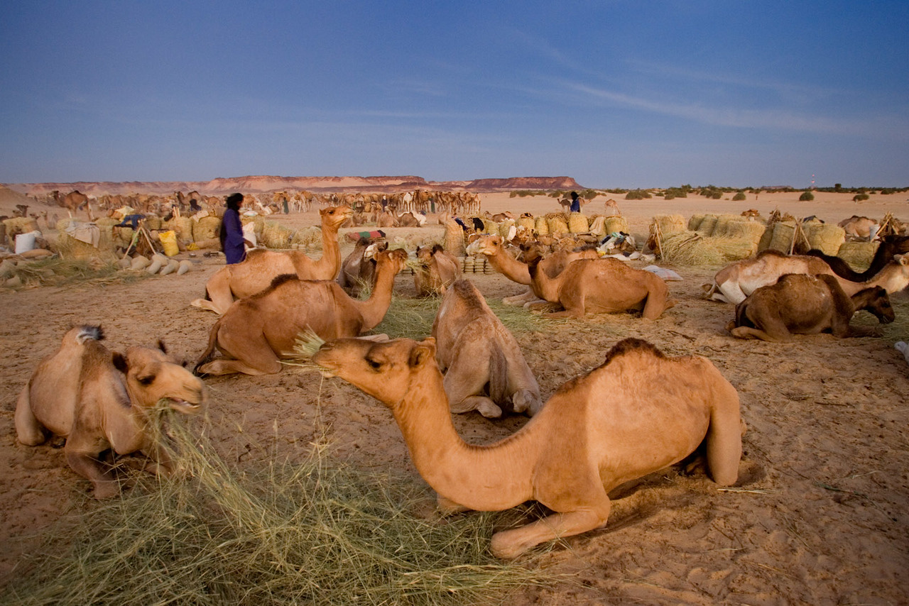 Camels waiting for salt. Bilma.