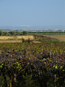 Grape orchards