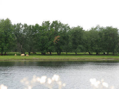Cows grazing on an island in the Saint John river