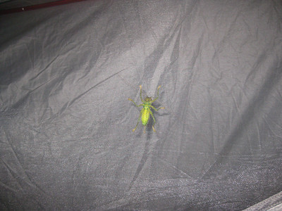 A visitor - fortunately on the outside of our tent