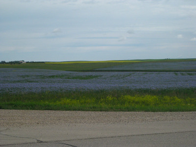 Field of Flax blooming