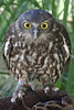 Currumbin Wildlife Sanctuary -  Raer Owl