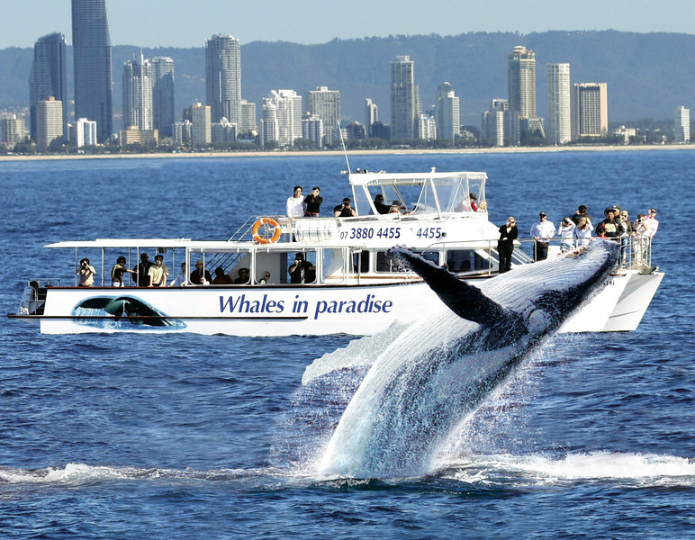 Up close Gold Coast Whale watching with Whales in Paradise