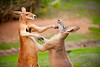 Currumbin Wildlife Sanctuary - Kangaroo feeding