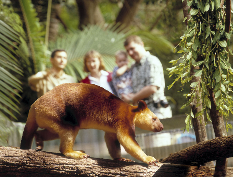 Currumbin Wildlife Sanctuary - Tree Kangaroo