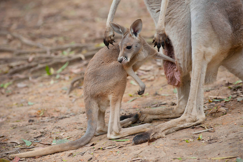 Currumbin Wildlife Sanctuary - Kangaroos