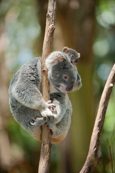 Currumbin Wildlife Sanctuary - Koala