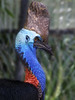 Currumbin Wildlife Sanctuary - Cassowary