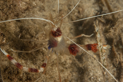 Banded Coral Shrimp Stenopus hispidus