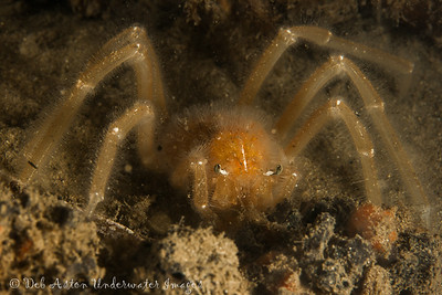 Collector crab Camposcia retusa that is newly moulted