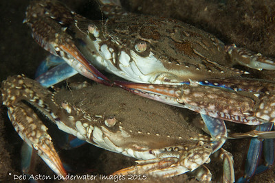 Blue Swimmer Crab Portunus pelagicus