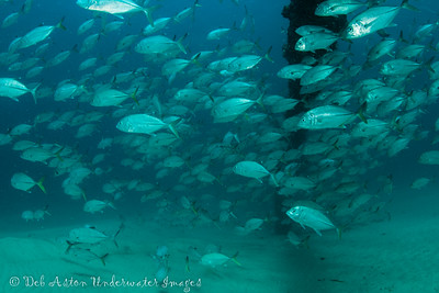 Resident Big Eye Trevally on the Sand Pumping Pipeline