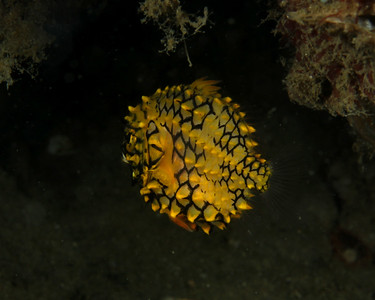 Australian pineapplefish Cleidopus gloriamaris  Gold Coast Seaway