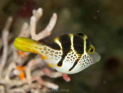 Pufferfish Mimic Mimic Filefish (Paraluteres prionurus)