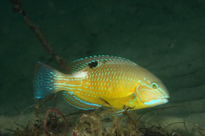 Blackspot tuskfish Choerodon schoenleinii  Gold Coast Seaway