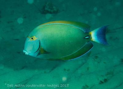 Eyestripe Surgeonfish Acanthurus dussumieri