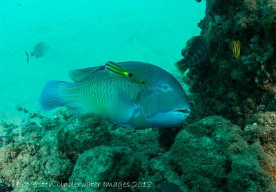 Blackspot Tuskfish Choerodon schoenleinii