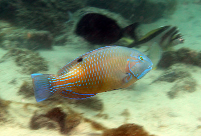 Blackspot Tuskfish Scarbus rubroviolaceus  Gold Coast Seaway