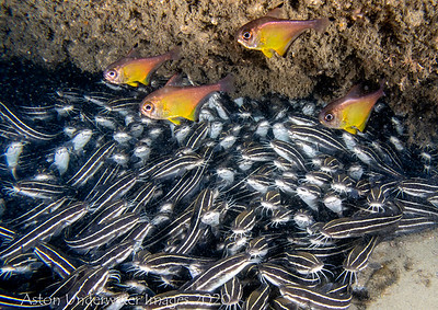 Striped Catfish  Plotosus lineatus