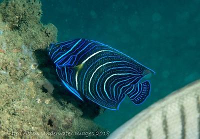 Semicircle Angelfish Pomacanthus semicirculatus