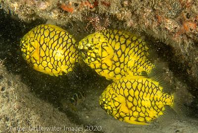 Australian pineapplefish Cleidopus gloriamaris Gold Coast Seaway