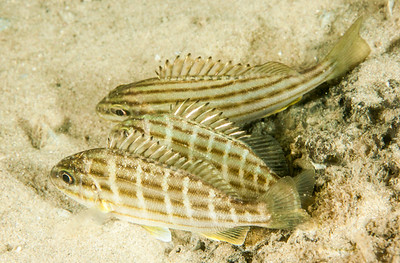 Eastern Striped Grunter, Pelates sexlineatus