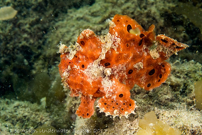Spotted Angler - Antennarius pictus