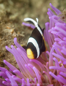 Barrier Reef Anemonefish  Amphiprion akindynos