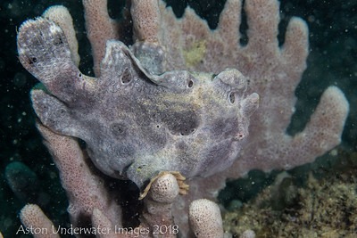 Anglerfish Giant Frogfish  Antennarius commerson