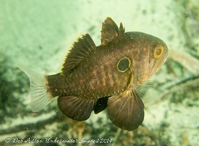 Cardinalfish Apogonichthyoides atripes