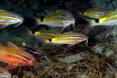 Black-spot Goatfish  Parupeneus spilurus  Gold Coast Seaway