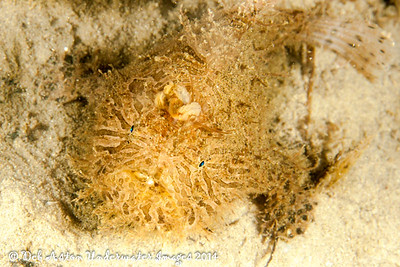 Anglerfish Striate Anglerfish  Antennarius striatus  Gold Coast Seaway