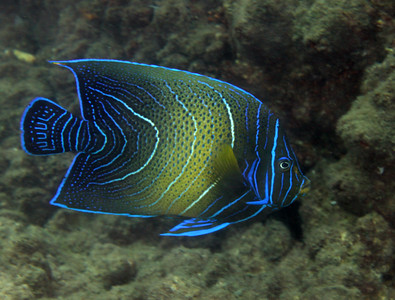 Blue Angelfish  Pomacanthus semicirculatus  Gold Coast Seaway