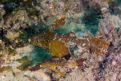 Ghostpipefish Roughsnout Ghostpipefish  Solenostomus paegnius