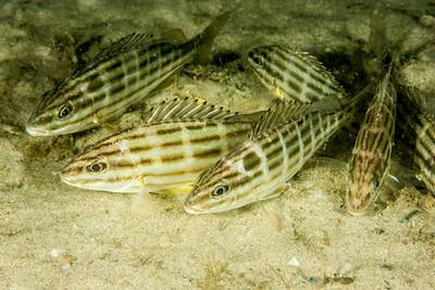 Eastern Striped Grunter  Pelates sexlineatus