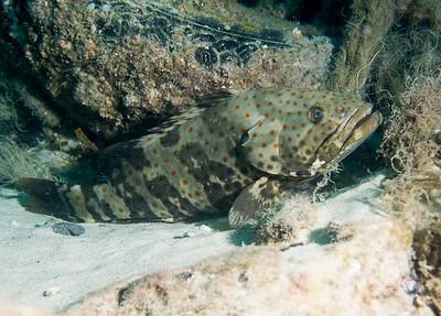 Goldspotted Rockcod Epinephelus coioides