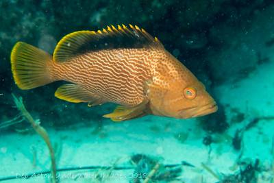 Maori Rockcod Epinephelus undulatostriatus