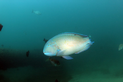 Blackspot tuskfish,   Choerodon schoenleinii  Gold Coast Seaway