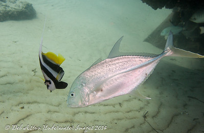 Bluefin Trevally  Caranx melampygus  with Longfin bannerfish