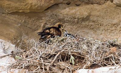 G0lden Eagle Nest