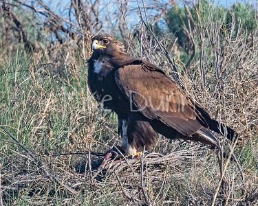 Golden Eagle-147