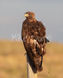 Golden Eagle-191
