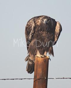 Golden Eagle-128