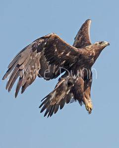 Golden Eagle-181