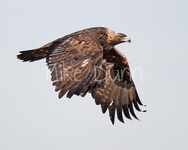 Golden Eagle-130