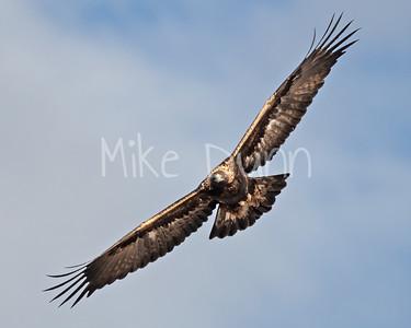 Golden Eagle-144