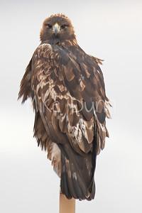 Golden Eagle-116