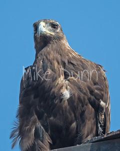 Golden Eagle-183