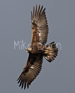 Golden Eagle-133