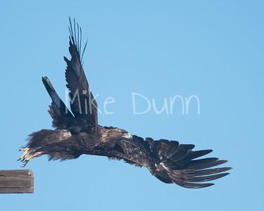 Golden Eagle-169